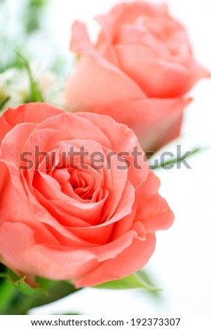 Two brightly colored roses with green leaves below them. - stock photo