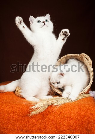 two British kittens of white color with a basket   - stock photo