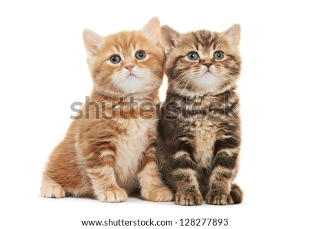 Two british shorthair brown and red kitten cat isolated - stock photo
