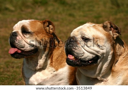Two brittish bulldogs sitting in the green grass. - stock photo