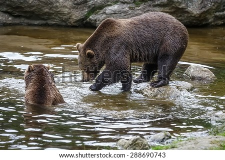 two brown bears is fishing in the river - stock photo