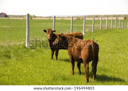 Two brown cows in a grassy field near a wire fence. - stock photo
