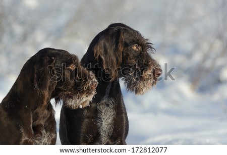 Two brown dogs portrait against the snow - stock photo