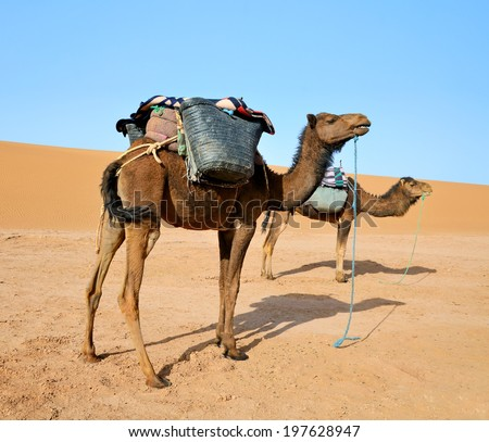 Two brown dromedary camels ready for a ride in a Sahara desert in Morocco. - stock photo