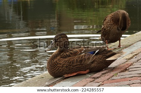 two brown ducks - stock photo