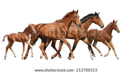 Two brown horses and two little foals family running free isolated on white - stock photo