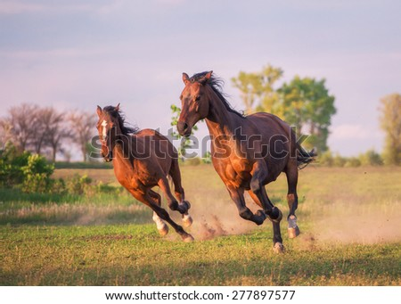 two brown horses are running ahead - stock photo