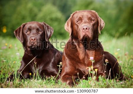 two brown labrador retriever dogs - stock photo