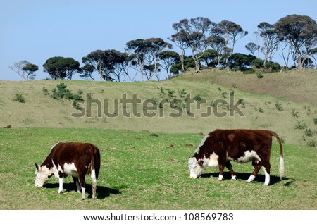 Two brown milk cow graze grass in a dairy farm in New Zealand. - stock photo