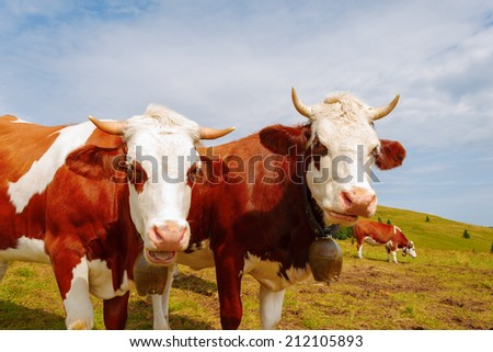 Two brown mountain cows with bells and horns - stock photo