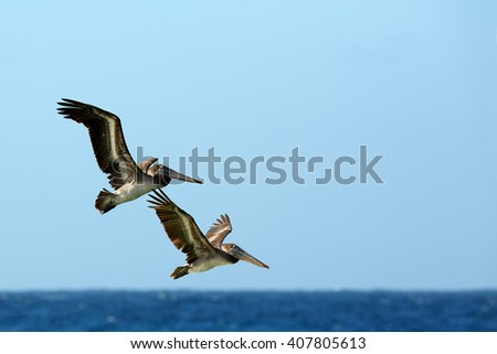 Two Brown Pelicans, Pelecanus occidentalis, couple flying together against blue sea horizon and clear sky. Wildlife photo, Tobago island. - stock photo