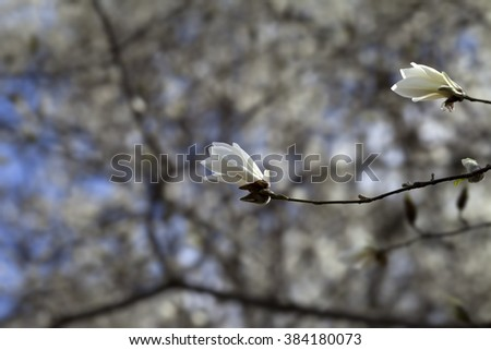 Two buds of blooming magnolia in spring day - stock photo