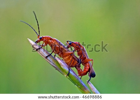 Two bugs copulatation Cantharis rustica - stock photo