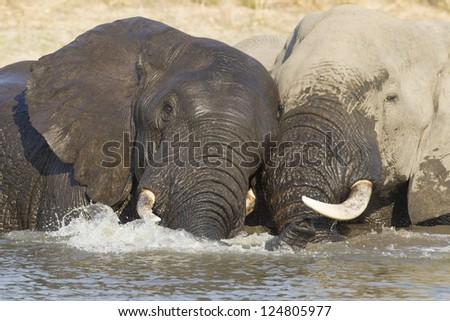 Two Bull African elephants play fight with each other in water. Kruger Park, South Africa - stock photo