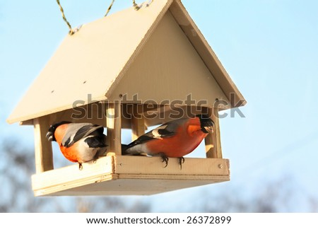 Two bullfinches in feed. Winter day - stock photo