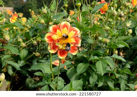 Two bumblebees on a flower - stock photo