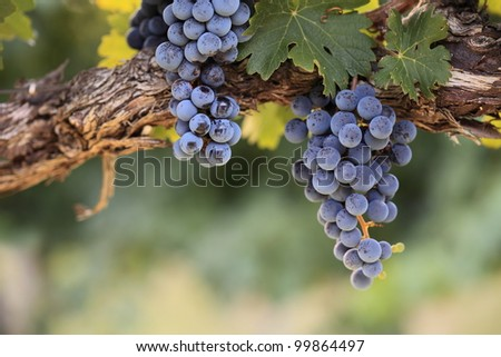 Two bunches of red grapes hanging from an old vine in warm afternoon light - stock photo