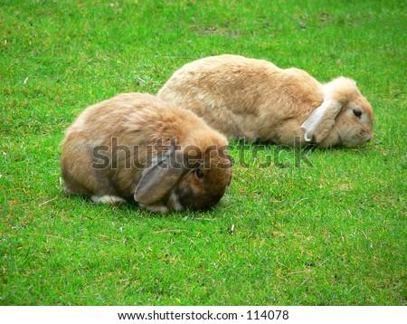 Two bunny rabbits - stock photo