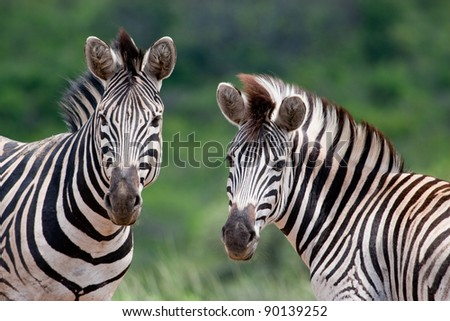 Two Burchell's Zebra in Hluhluwe-iMfolozi Game Reserve in KwaZulu Natal region of South Africa - stock photo