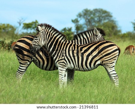 Two Burchell's Zebra in the Kruger Park, South Africa. - stock photo