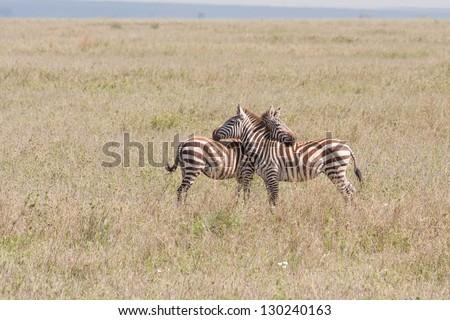 Two Burchell�s Zebras flirtTwo Burchell�s Zebras flirt on savanna plain. Serengeti National Park, Great Rift Valley, Tanzania, Africa. - stock photo