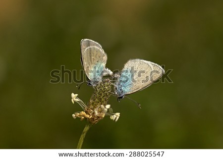 two butterflies (Glaucopsyche alexis) on plantain - stock photo