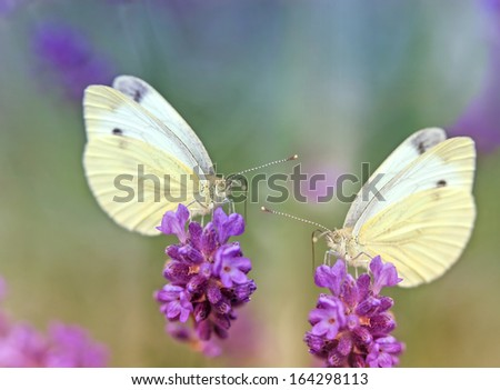 Two butterflies on lavender - stock photo