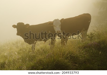 Two calfs at foggy mountain meadow after sunrise - stock photo
