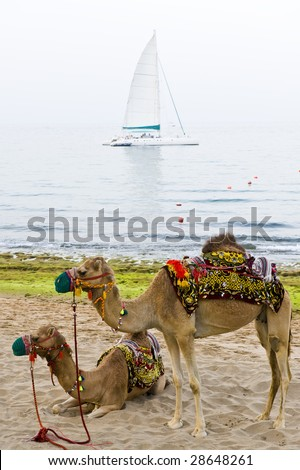 Two camels standing on a beach with a sailboat anchored in the background. - stock photo