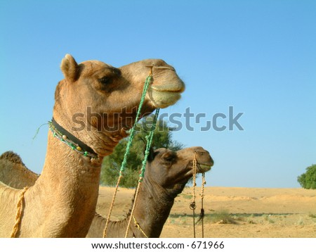 Two camels staring into the distance - stock photo