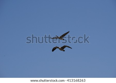 Two Canada Geese Flying, California - stock photo