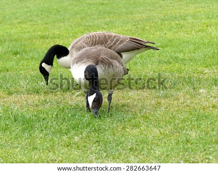 Two canadian geese grazing in the grass - stock photo