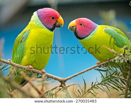 two canaries sitting on a branch teasing each other - stock photo