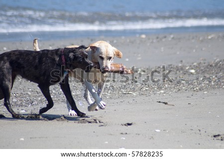 Two canine friends playing with a stick together at the beach along the ocean shore on a beautiful sunny day. - stock photo
