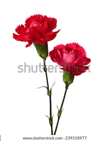 Two carnations  isolated on white background. - stock photo