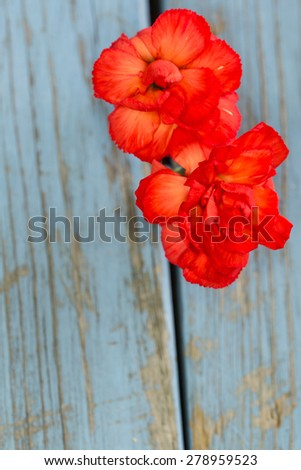 two carnations on vintage turquoise wooden background - stock photo