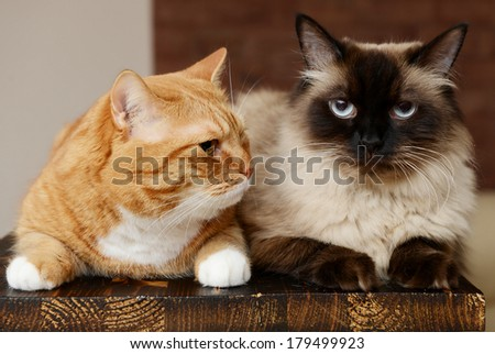 two cats in home interior, British Shorthair and Neva Masquerade - stock photo