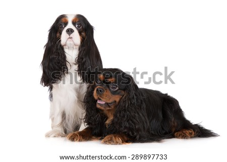 two cavalier king charles spaniel dogs on white - stock photo