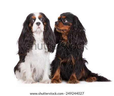 two cavalier king charles spaniels sitting close to each other - stock photo