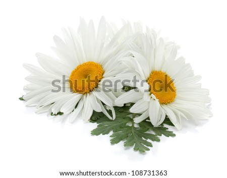 Two chamomile flowers with leaves. Isolated on white background - stock photo