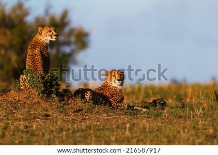 Two Cheetah brothers at sunrise in Masai Mara, Kenya - stock photo