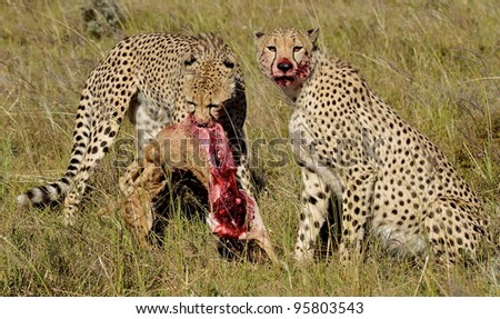 Two Cheetah brothers make a kill and eat in Africa - stock photo