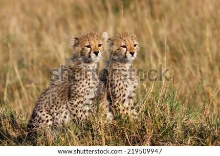 Two Cheetah cubs watching mother when hunting in Masai Mara, Kenya - stock photo