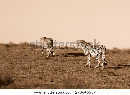 Two cheetah on the move in South Africa - stock photo