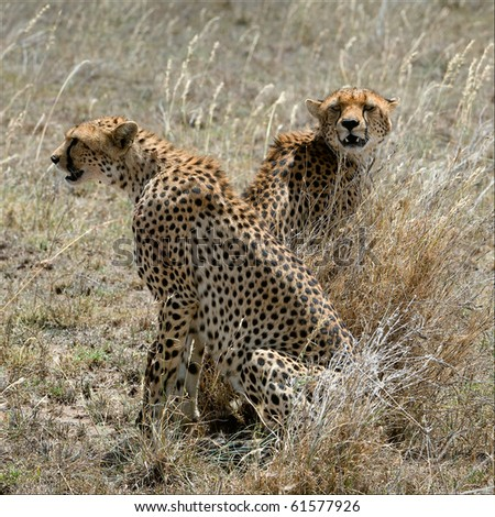 Two cheetahs in a grass. Two cheetahs sit in the grass which has turned yellow from the sun. - stock photo