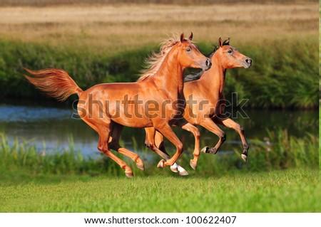 two chestnut arabians run on sunset meadow - stock photo