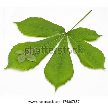 two chestnut leaf background - stock photo