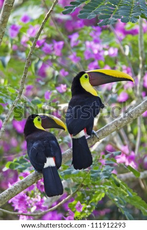 Two Chestnut-mandibled Toucans, Costa Rica - stock photo