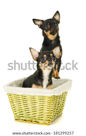 Two chihuahua dog - stock photo
