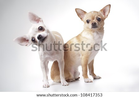 two Chihuahua dog on white background - stock photo